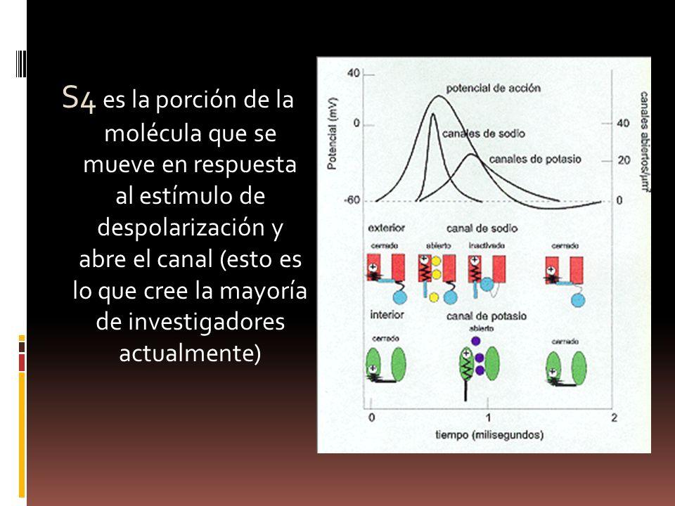 S4 es la porción de la molécula que se mueve en respuesta al estímulo de despolarización y abre el canal (esto es lo que cree la mayoría de investigadores actualmente)