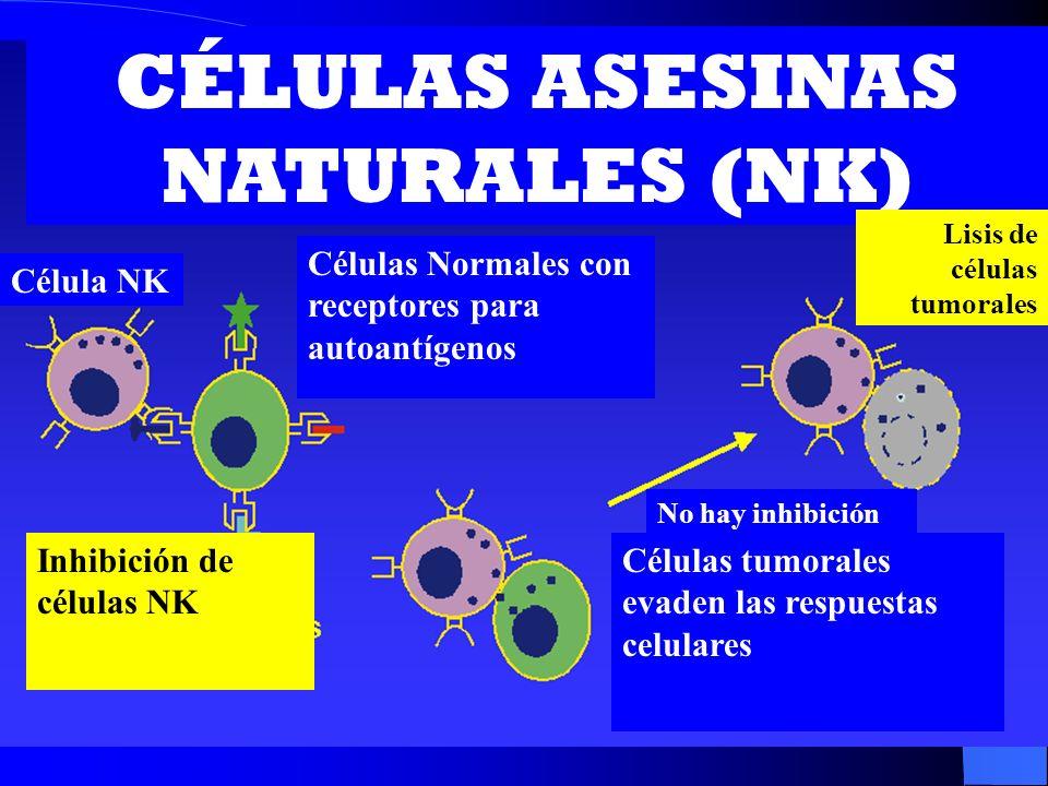 CÉLULAS ASESINAS NATURALES (NK) Célula NK Células Normales con receptores para autoantígenos Lisis de células tumorales Inhibición de células NK No ha
