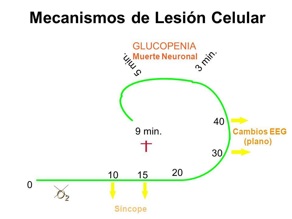 0 O2O2O2O2 10 15 Síncope 20 30 40 Cambios EEG (plano) GLUCOPENIA Muerte Neuronal 3 min. 5 min. 9 min. Mecanismos de Lesión Celular