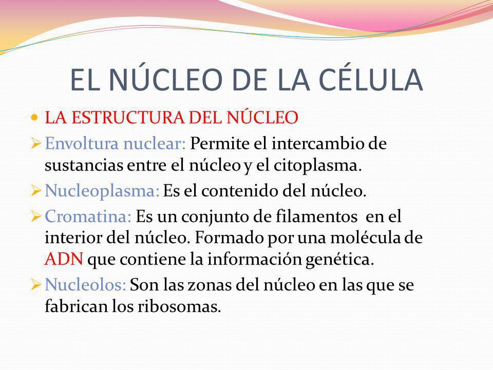 EL NÚCLEO DE LA CÉLULA LA ESTRUCTURA DEL NÚCLEO Envoltura nuclear: Permite el intercambio de sustancias entre el núcleo y el citoplasma. Nucleoplasma: