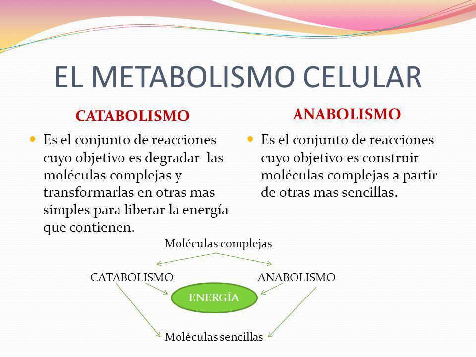 EL METABOLISMO CELULAR CATABOLISMO ANABOLISMO Es el conjunto de reacciones cuyo objetivo es degradar las moléculas complejas y transformarlas en otras