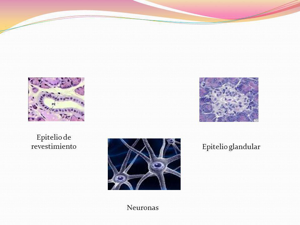 Epitelio de revestimiento Epitelio glandular Neuronas