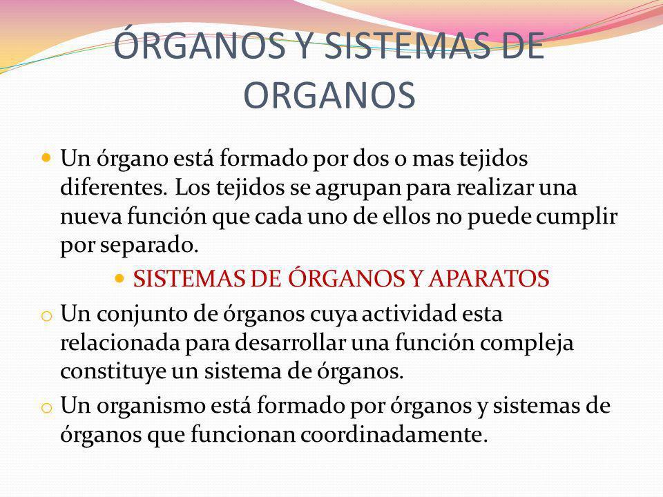 ÓRGANOS Y SISTEMAS DE ORGANOS Un órgano está formado por dos o mas tejidos diferentes. Los tejidos se agrupan para realizar una nueva función que cada
