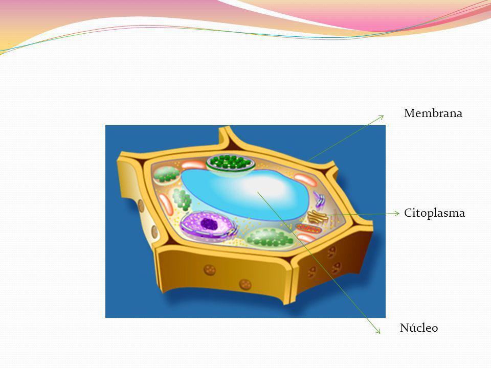 Membrana Citoplasma Núcleo