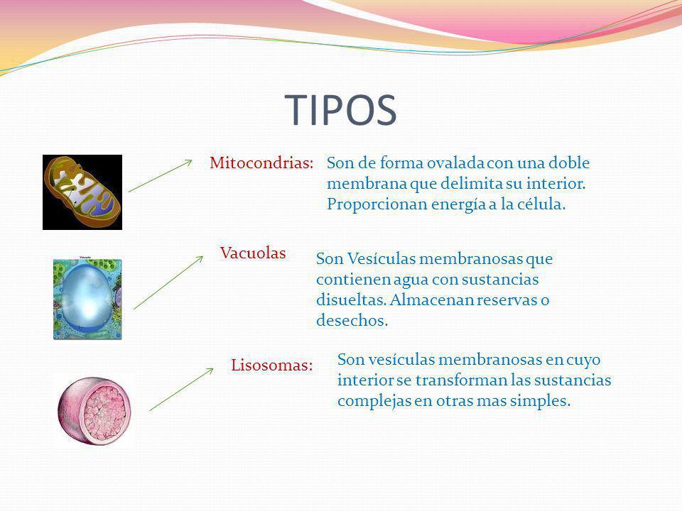 TIPOS Mitocondrias:Son de forma ovalada con una doble membrana que delimita su interior. Proporcionan energía a la célula. Vacuolas Son Vesículas memb