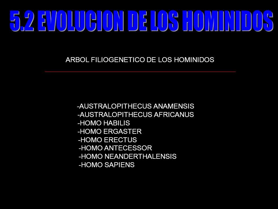 ARBOL FILIOGENETICO DE LOS HOMINIDOS -AUSTRALOPITHECUS ANAMENSIS -AUSTRALOPITHECUS AFRICANUS -HOMO HABILIS -HOMO ERGASTER -HOMO ERECTUS -HOMO ANTECESS