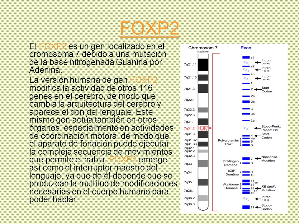 FOXP2 El FOXP2 es un gen localizado en el cromosoma 7 debido a una mutación de la base nitrogenada Guanina por Adenina. La versión humana de gen FOXP2