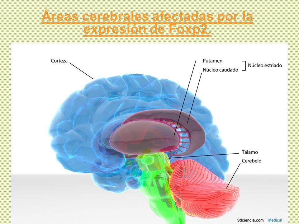 Áreas cerebrales afectadas por la expresión de Foxp2.