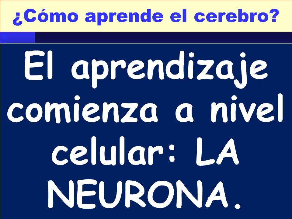 ¿Cómo aprende el cerebro? El aprendizaje comienza a nivel celular: LA NEURONA.