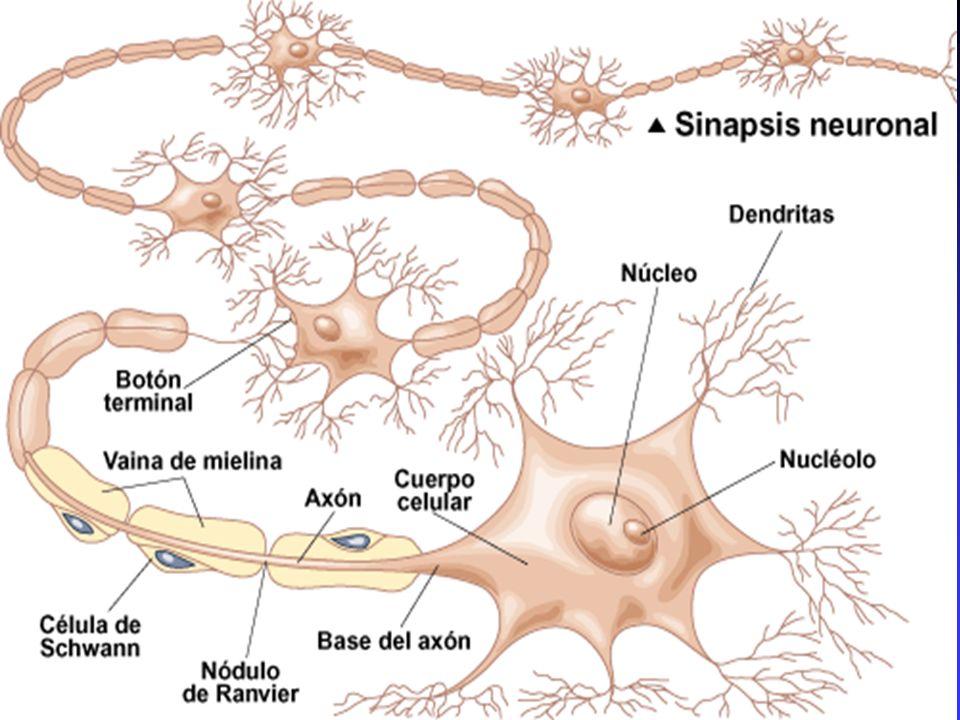 La neurona, dispara, integra y genera información a través de la SINAPSIS
