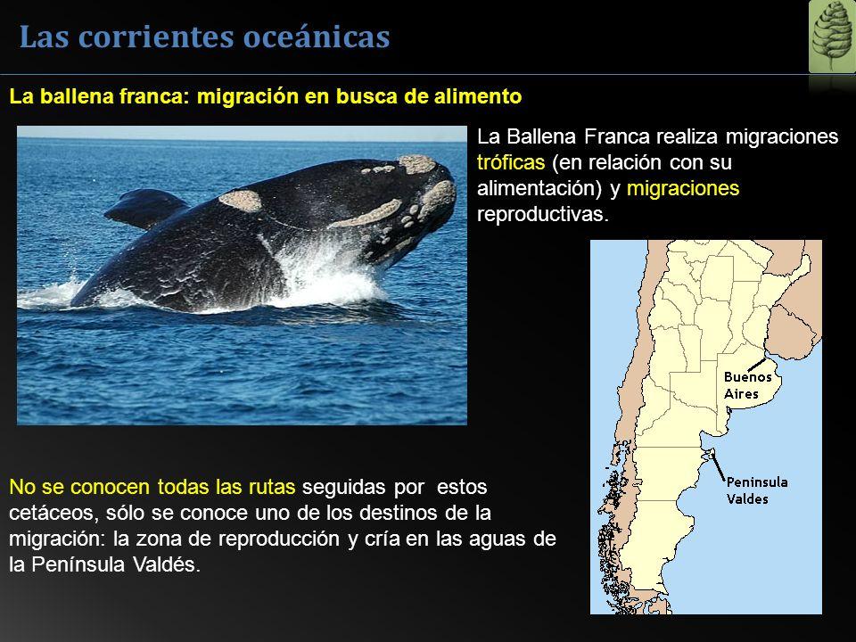 Las corrientes oceánicas La Ballena Franca realiza migraciones tróficas (en relación con su alimentación) y migraciones reproductivas. La ballena fran
