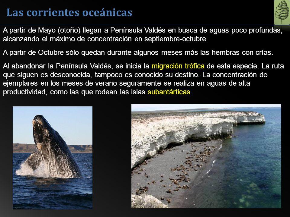 Las corrientes oceánicas A partir de Mayo (otoño) llegan a Península Valdés en busca de aguas poco profundas, alcanzando el máximo de concentración en