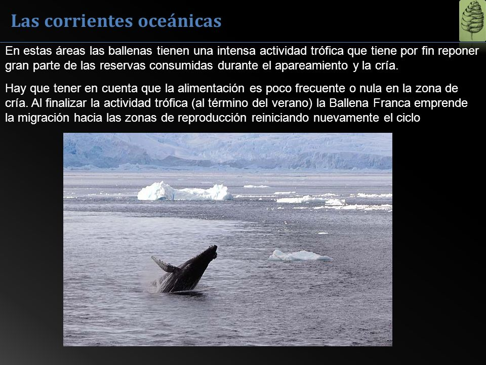 Las corrientes oceánicas En estas áreas las ballenas tienen una intensa actividad trófica que tiene por fin reponer gran parte de las reservas consumi