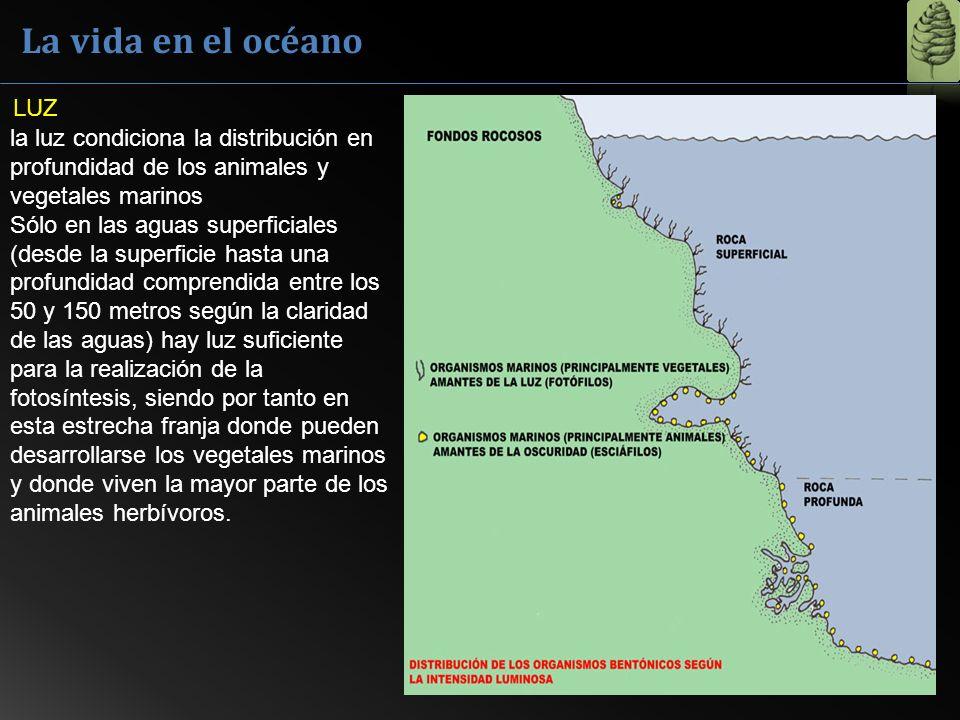 La vida en el océano LUZ la luz condiciona la distribución en profundidad de los animales y vegetales marinos Sólo en las aguas superficiales (desde l