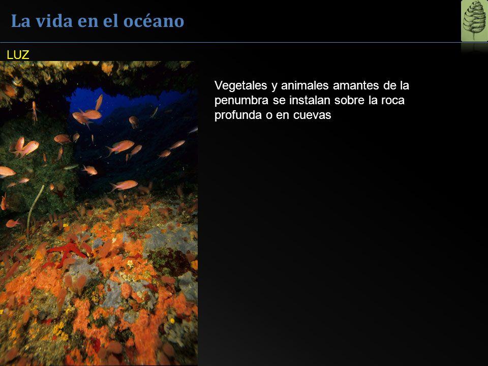 La vida en el océano LUZ Vegetales y animales amantes de la penumbra se instalan sobre la roca profunda o en cuevas