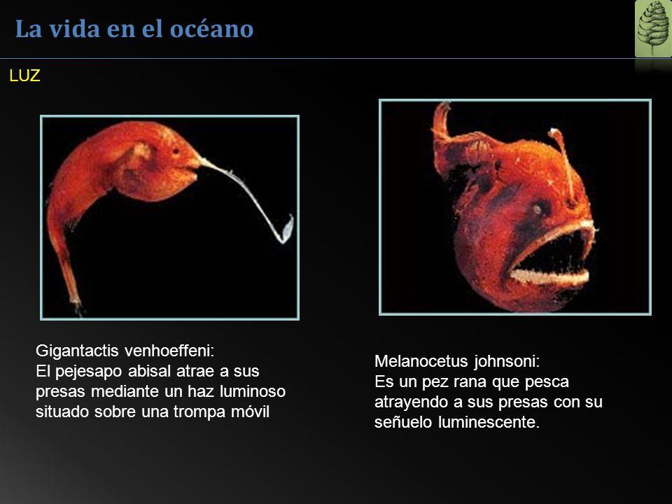 La vida en el océano Gigantactis venhoeffeni: El pejesapo abisal atrae a sus presas mediante un haz luminoso situado sobre una trompa móvil Melanocetu