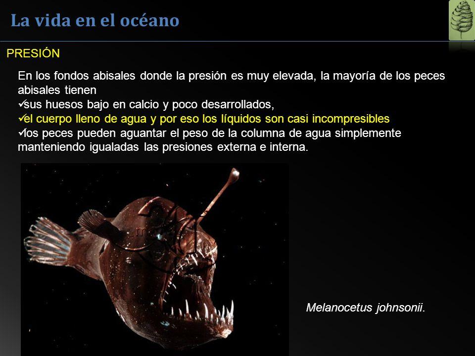 La vida en el océano En los fondos abisales donde la presión es muy elevada, la mayoría de los peces abisales tienen sus huesos bajo en calcio y poco