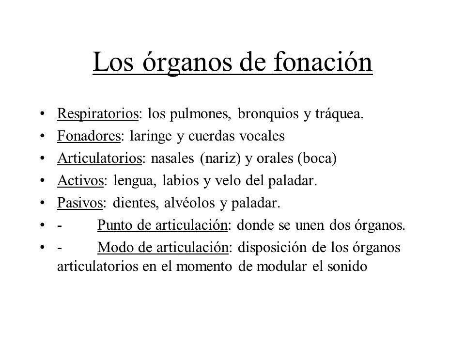 Los órganos de fonación Respiratorios: los pulmones, bronquios y tráquea. Fonadores: laringe y cuerdas vocales Articulatorios: nasales (nariz) y orale