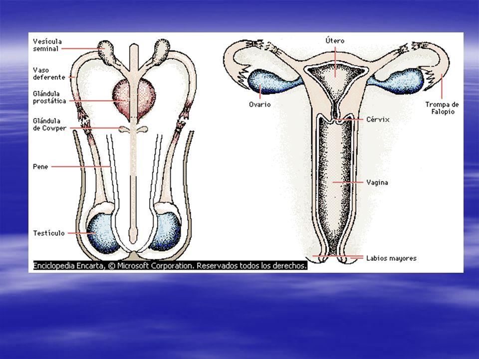 Pastillas anticonceptivas Anticonceptivas orales: Anticonceptivas orales: Se toma diariamente para evitar la liberación de óvulos.
