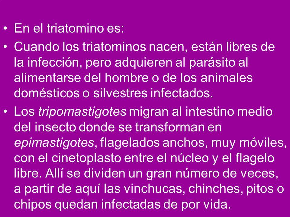 En el triatomino es: Cuando los triatominos nacen, están libres de la infección, pero adquieren al parásito al alimentarse del hombre o de los animale