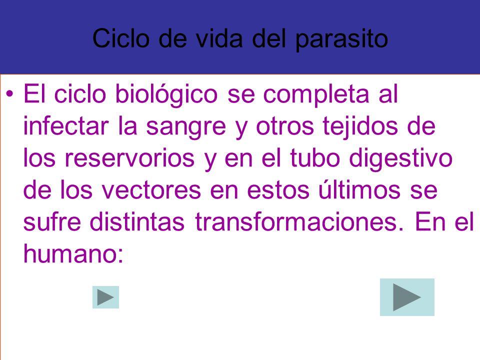 Ciclo de vida del parasito El ciclo biológico se completa al infectar la sangre y otros tejidos de los reservorios y en el tubo digestivo de los vecto