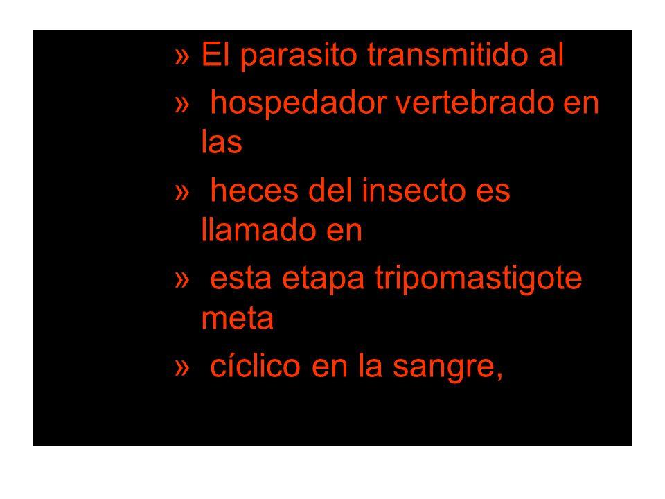 »El parasito transmitido al » hospedador vertebrado en las » heces del insecto es llamado en » esta etapa tripomastigote meta » cíclico en la sangre,