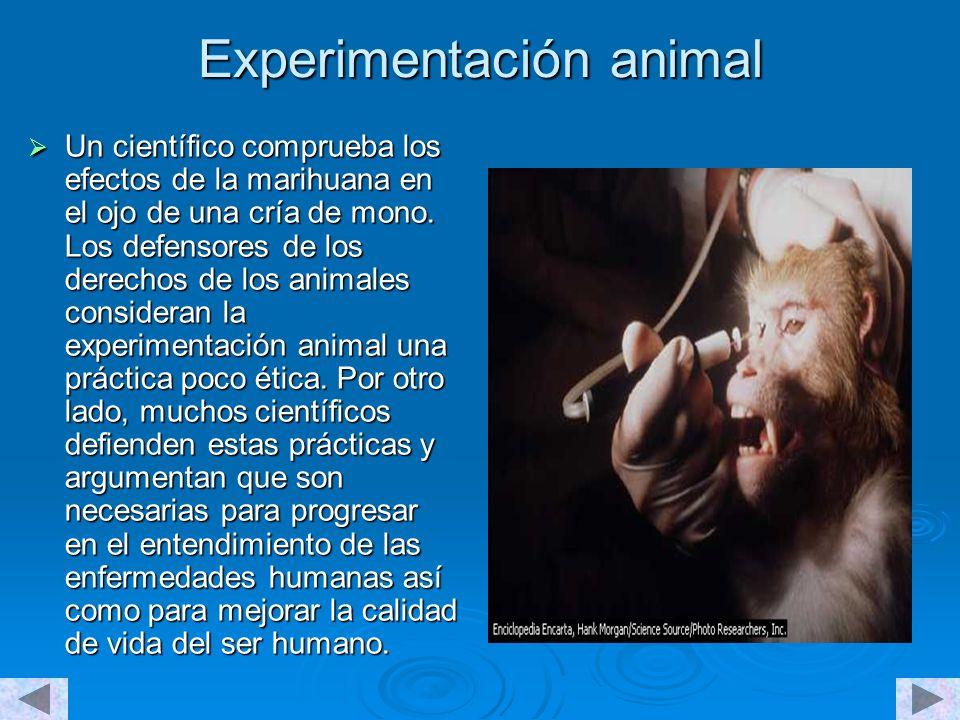 Experimentación animal Un científico comprueba los efectos de la marihuana en el ojo de una cría de mono.