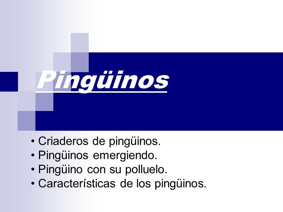 Pingüinos Criaderos de pingüinos. Pingüinos emergiendo. Pingüino con su polluelo. Características de los pingüinos.
