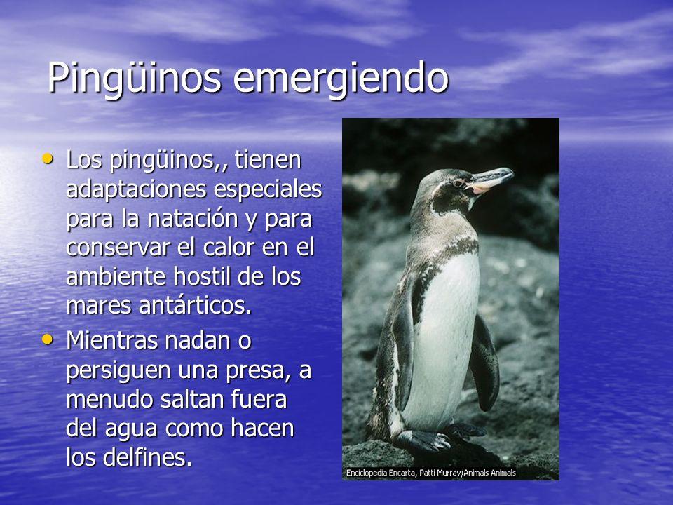 Pingüinos emergiendo Los pingüinos,, tienen adaptaciones especiales para la natación y para conservar el calor en el ambiente hostil de los mares antá