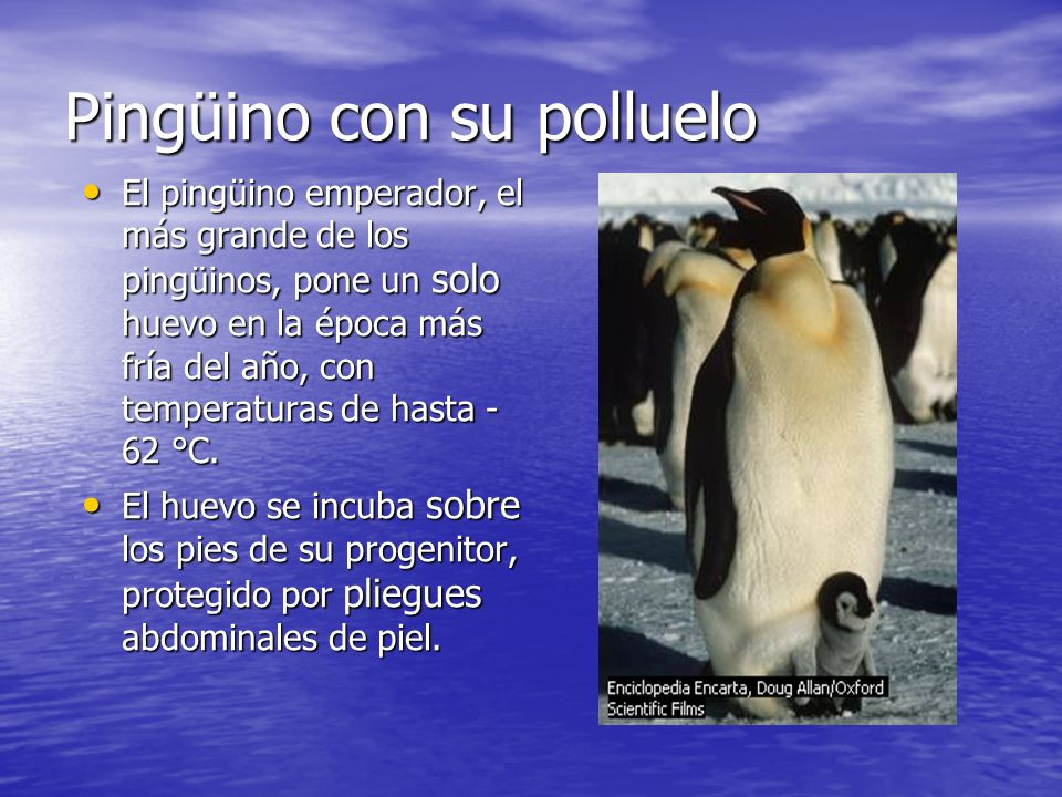 Pingüino con su polluelo El pingüino emperador, el más grande de los pingüinos, pone un solo huevo en la época más fría del año, con temperaturas de h