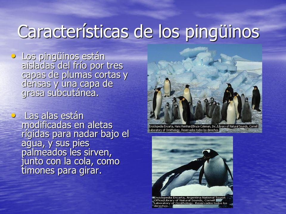 Características de los pingüinos Los pingüinos están aisladas del frío por tres capas de plumas cortas y densas y una capa de grasa subcutánea. Los pi