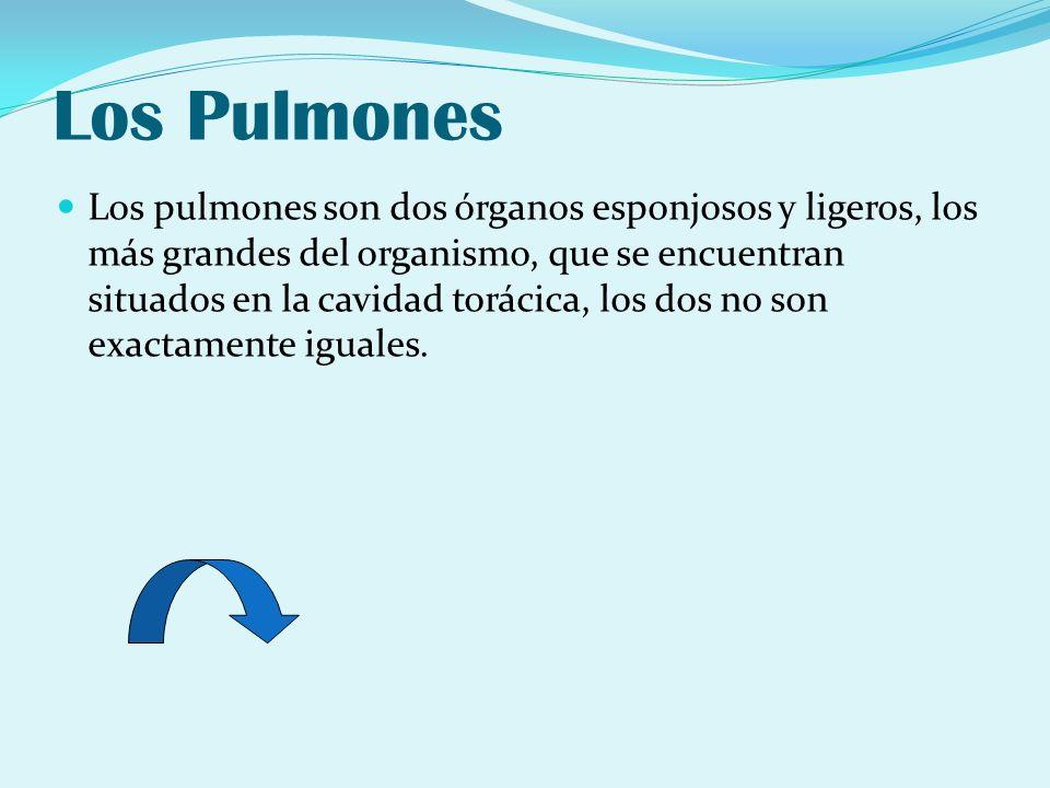 Los Pulmones Los pulmones son dos órganos esponjosos y ligeros, los más grandes del organismo, que se encuentran situados en la cavidad torácica, los