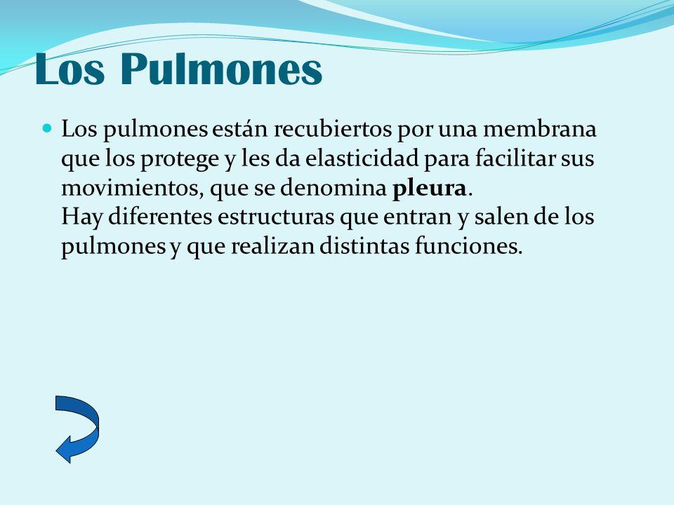 Los Pulmones Los pulmones están recubiertos por una membrana que los protege y les da elasticidad para facilitar sus movimientos, que se denomina pleu