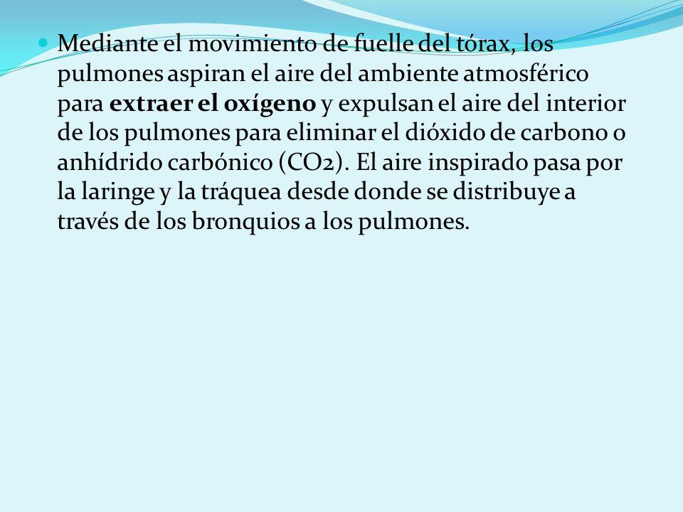 Mediante el movimiento de fuelle del tórax, los pulmones aspiran el aire del ambiente atmosférico para extraer el oxígeno y expulsan el aire del inter