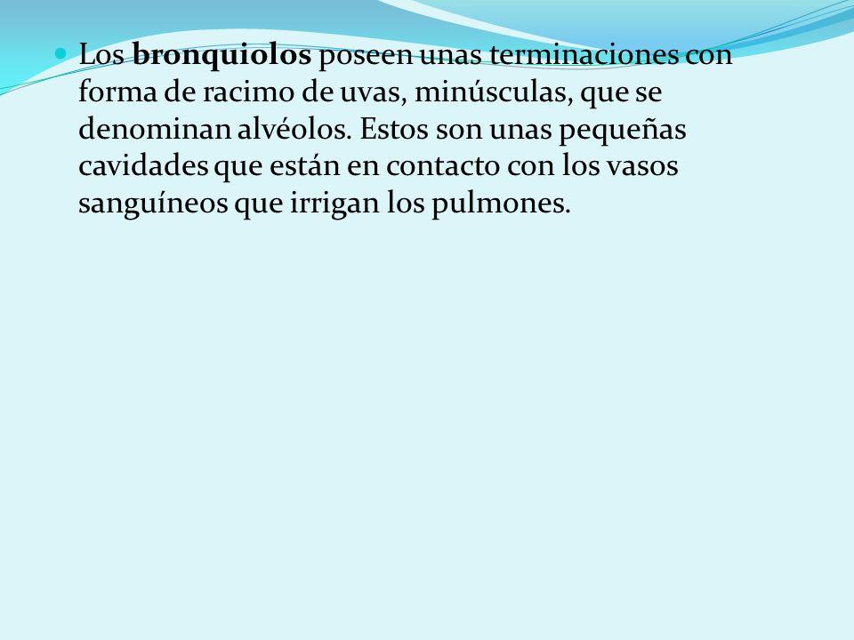 Los bronquiolos poseen unas terminaciones con forma de racimo de uvas, minúsculas, que se denominan alvéolos. Estos son unas pequeñas cavidades que es
