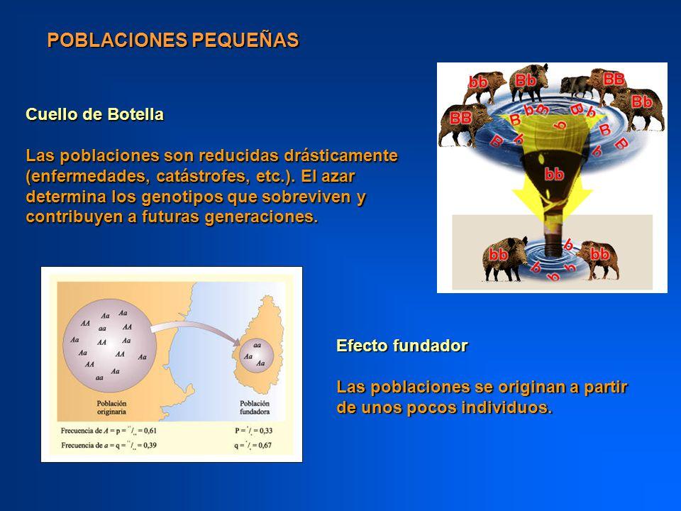 POBLACIONES PEQUEÑAS Cuello de Botella Las poblaciones son reducidas drásticamente (enfermedades, catástrofes, etc.). El azar determina los genotipos