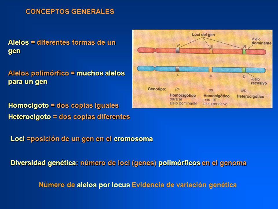 CONCEPTOS GENERALES Alelos = diferentes formas de un gen Loci =posición de un gen en el cromosoma Homocigoto = dos copias iguales Heterocigoto = dos c