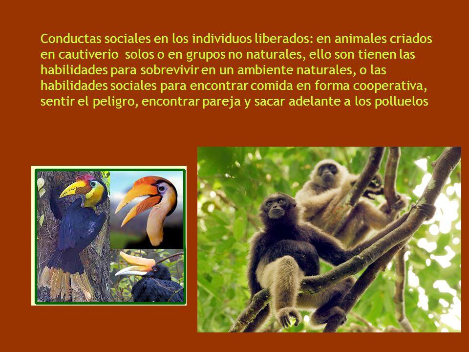 Conductas sociales en los individuos liberados: en animales criados en cautiverio solos o en grupos no naturales, ello son tienen las habilidades para sobrevivir en un ambiente naturales, o las habilidades sociales para encontrar comida en forma cooperativa, sentir el peligro, encontrar pareja y sacar adelante a los polluelos