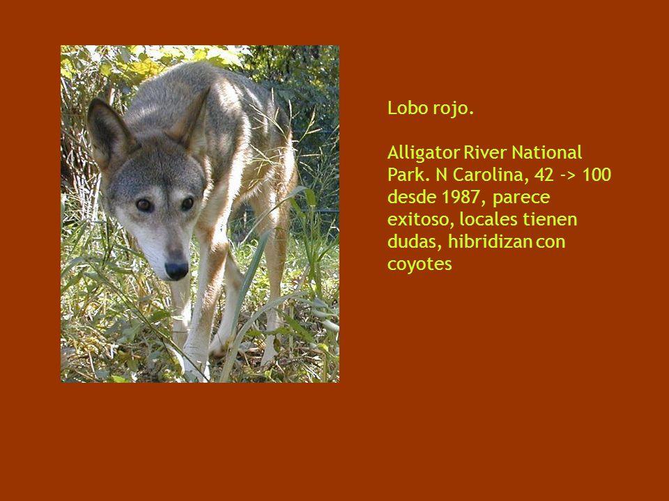 Lobo rojo. Alligator River National Park.