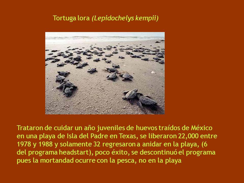 Tortuga lora (Lepidochelys kempii) Trataron de cuidar un año juveniles de huevos traídos de México en una playa de Isla del Padre en Texas, se liberaron 22,000 entre 1978 y 1988 y solamente 32 regresaron a anidar en la playa, (6 del programa headstart), poco éxito, se descontinuó el programa pues la mortandad ocurre con la pesca, no en la playa