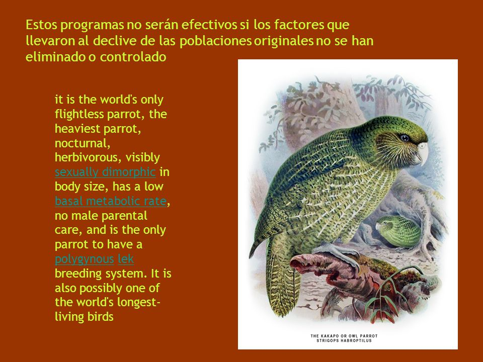 Estos programas no serán efectivos si los factores que llevaron al declive de las poblaciones originales no se han eliminado o controlado it is the world s only flightless parrot, the heaviest parrot, nocturnal, herbivorous, visibly sexually dimorphic in body size, has a low basal metabolic rate, no male parental care, and is the only parrot to have a polygynous lek breeding system.