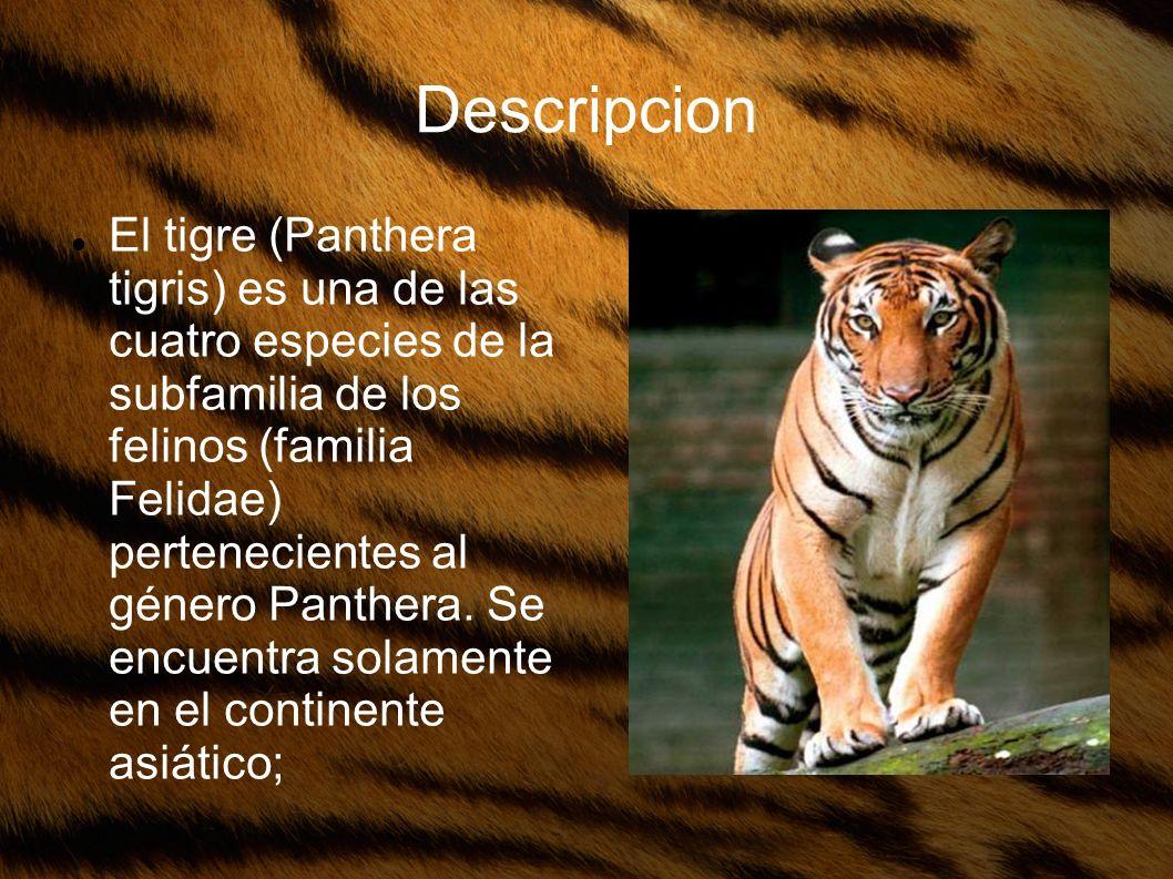 Descripcion El tigre (Panthera tigris) es una de las cuatro especies de la subfamilia de los felinos (familia Felidae) pertenecientes al género Panthe