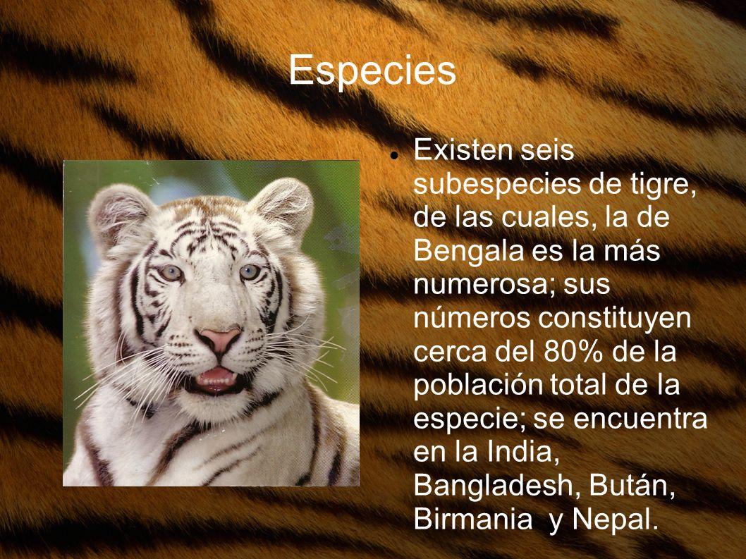Especies Existen seis subespecies de tigre, de las cuales, la de Bengala es la más numerosa; sus números constituyen cerca del 80% de la población tot
