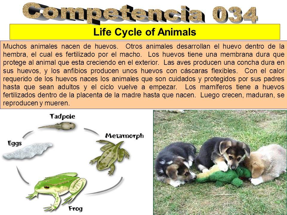 Life Cycle of Animals Muchos animales nacen de huevos. Otros animales desarrollan el huevo dentro de la hembra, el cual es fertilizado por el macho. L