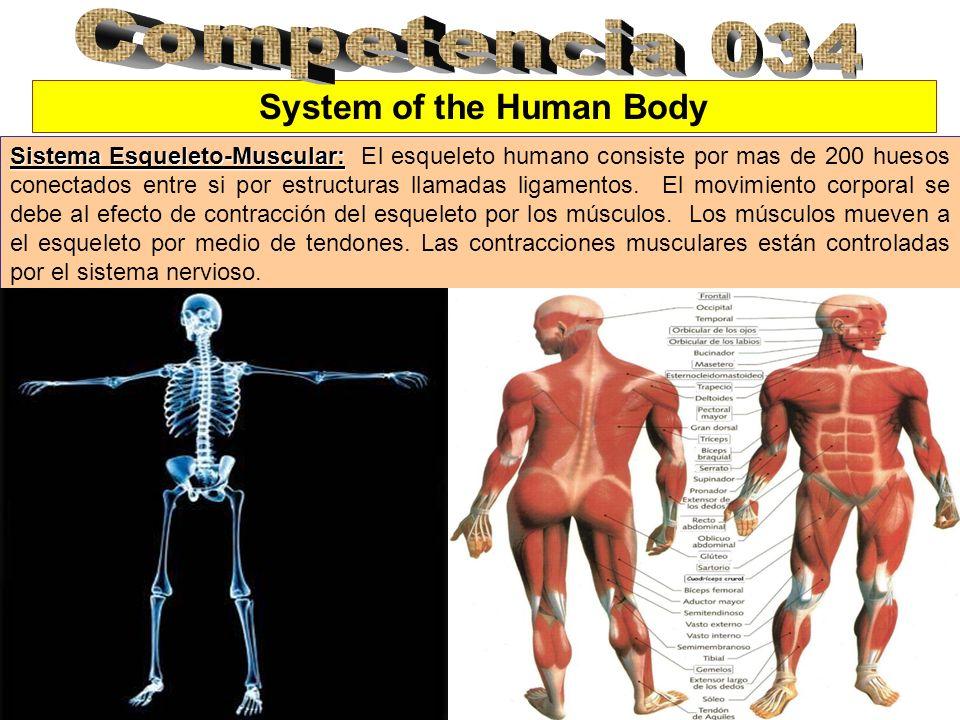 System of the Human Body Sistema Esqueleto-Muscular: Sistema Esqueleto-Muscular: El esqueleto humano consiste por mas de 200 huesos conectados entre s