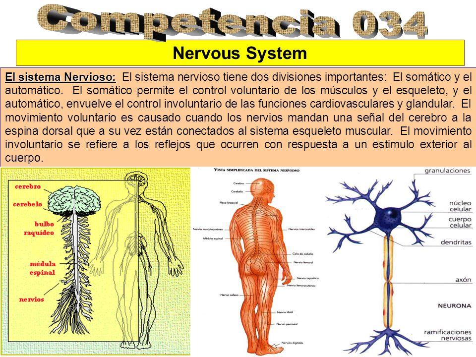 Nervous System El sistema Nervioso: El sistema Nervioso: El sistema nervioso tiene dos divisiones importantes: El somático y el automático. El somátic