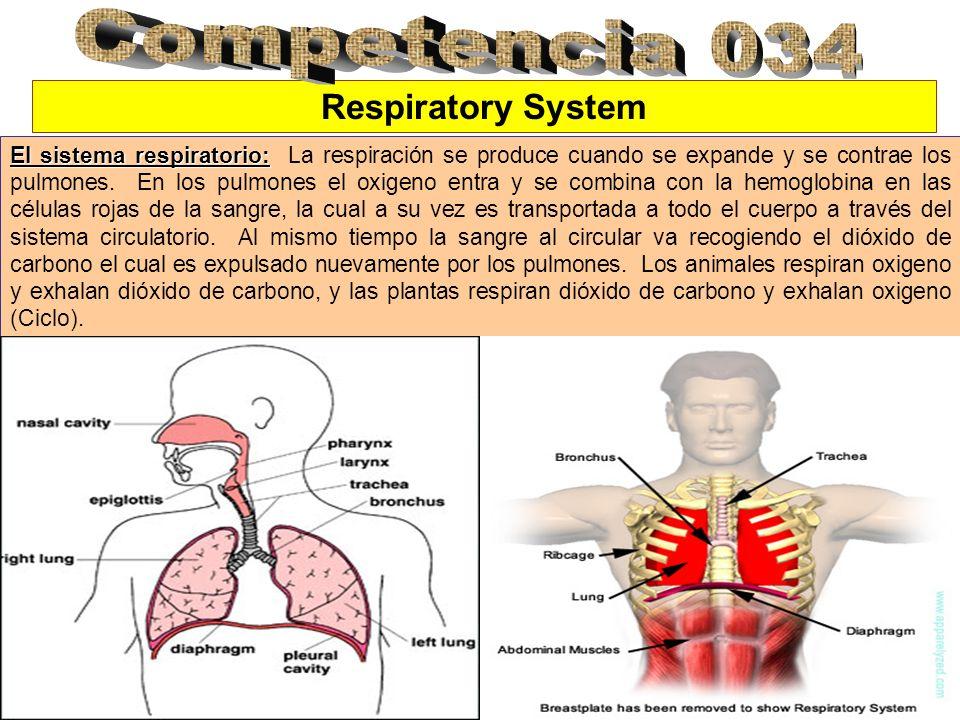 Respiratory System El sistema respiratorio: El sistema respiratorio: La respiración se produce cuando se expande y se contrae los pulmones. En los pul