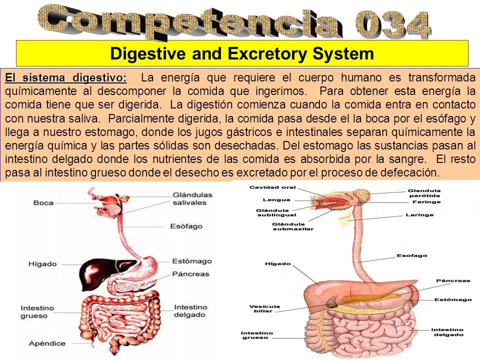 Digestive and Excretory System El sistema digestivo: El sistema digestivo: La energía que requiere el cuerpo humano es transformada químicamente al de