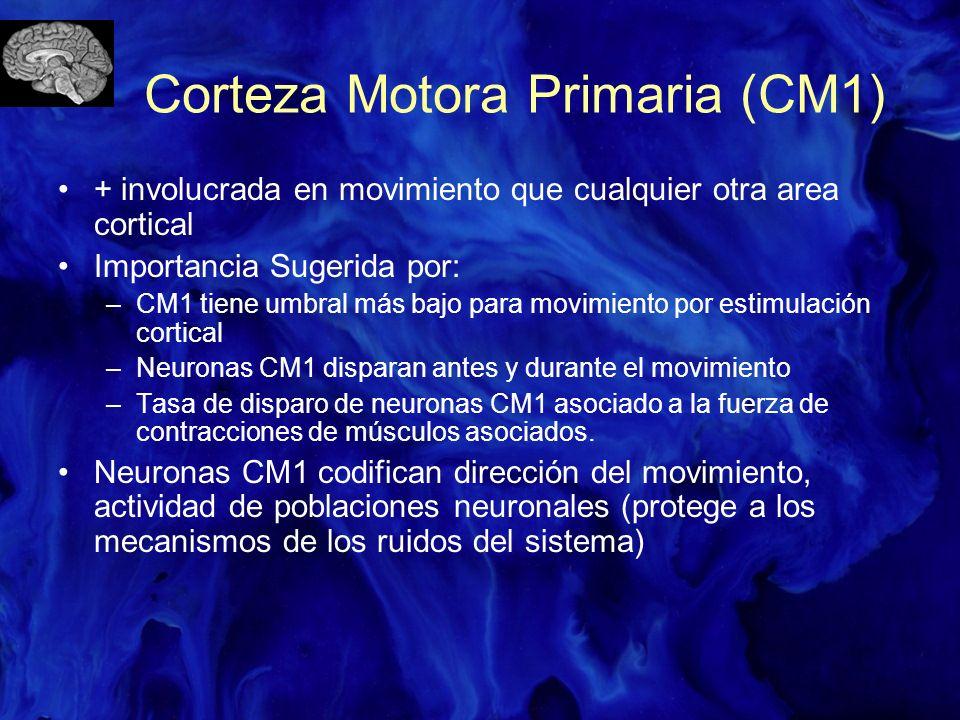 Corteza Motora Primaria (CM1) + involucrada en movimiento que cualquier otra area cortical Importancia Sugerida por: –CM1 tiene umbral más bajo para m