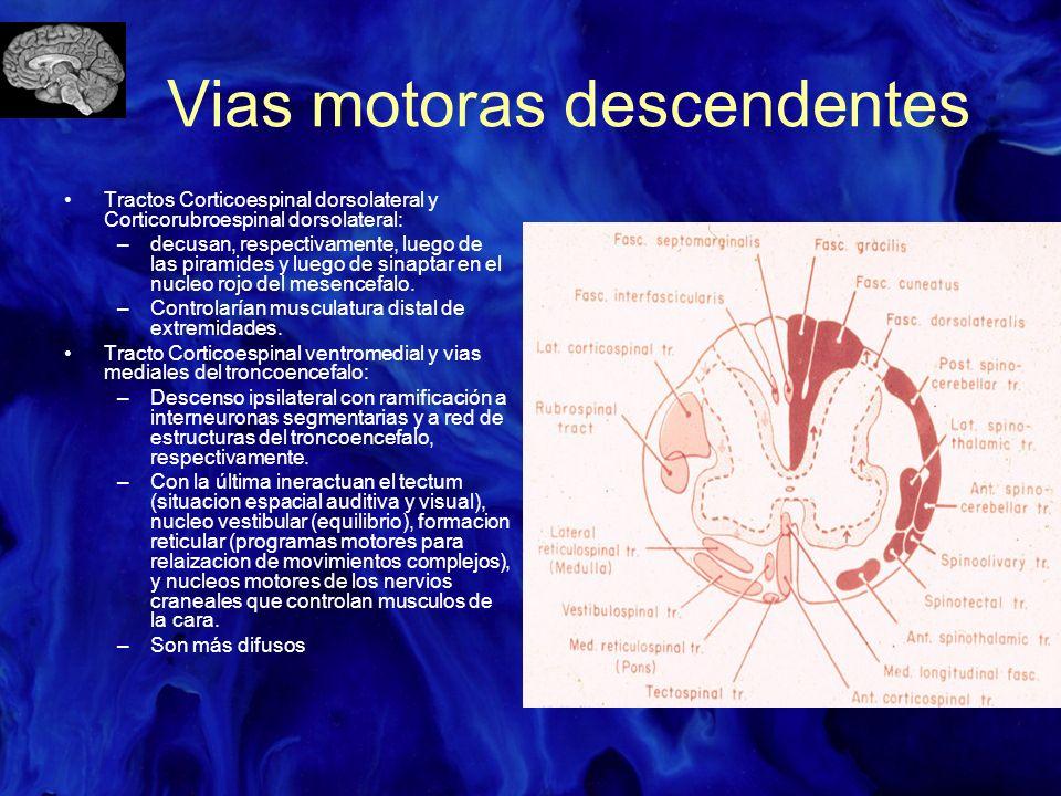 Vias motoras descendentes Tractos Corticoespinal dorsolateral y Corticorubroespinal dorsolateral: –decusan, respectivamente, luego de las piramides y